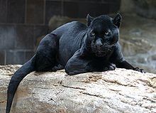 A melanistic (black) jaguar at the Henry Doorly Zoo. Melanism is the result of a dominant allele and remains relatively rare in jaguars
