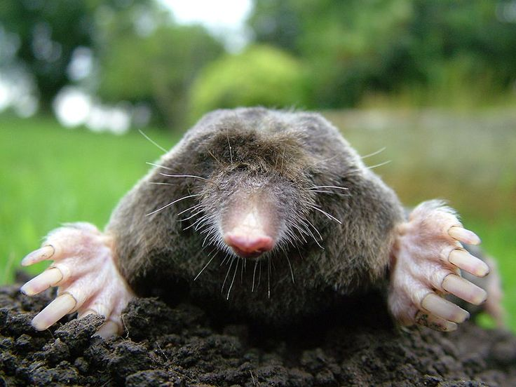 Another awesome mole. #moles