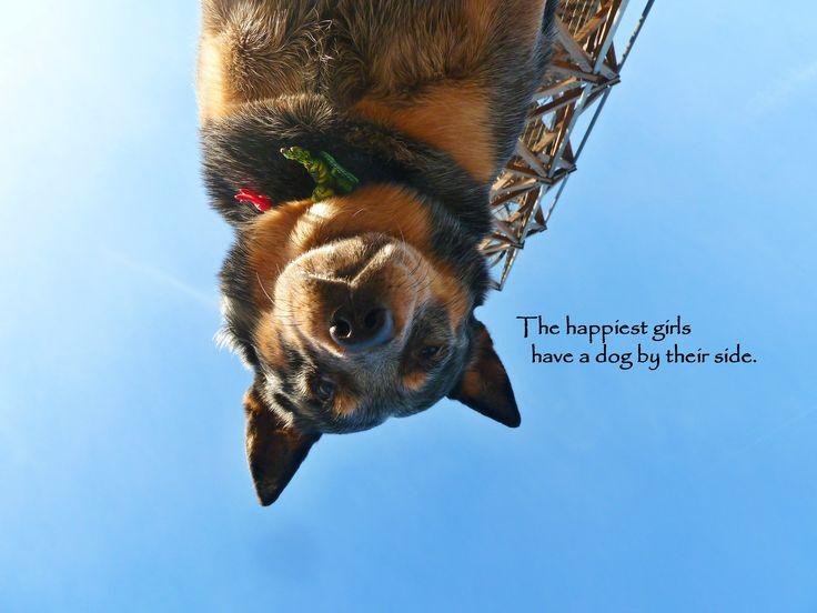 blue heeler quote - Gordi the heeler (ACD, australian cattle dog)
