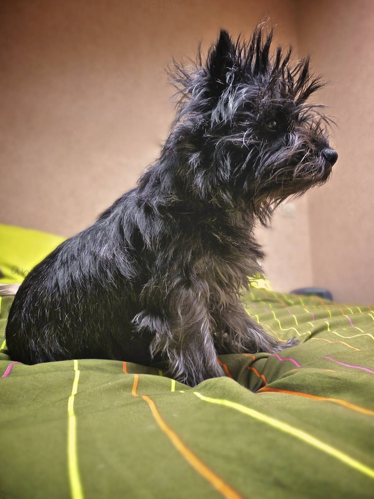 Cairn terrier with bedhead and bedface.