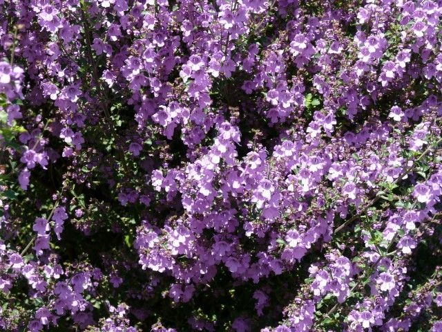 Prostanthera Minty --- For more Australian native plants visit austraflora.com