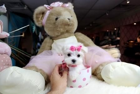TEACUP DOGS for sale! We ship, very safe! Easy financing available!!! visit our website www.teacuppuppiesstore.com or call 954-353-7864. #puppies #puppy #puppiesforsale #cutepuppies #tinypuppies #cutestpuppies #bestpuppies #smallestpuppies #littledogs #cutedogs #smallestdogs #smallestpuppies #smallestteacups #teacups #teacuppuppies #teacuppuppiesforsale #teacupdog #teacupdogs #teacupdogsforsale #bestteacuppuppies #tcuppuppies #tcupdogs
