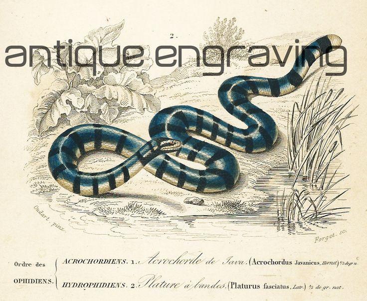 1861 Acrochorde de Java Gravure ancienne Ch. d Orbigny Original Histoire naturelle Zoologie Reptiles ophidiens de la boutique sofrenchvintage sur Etsy