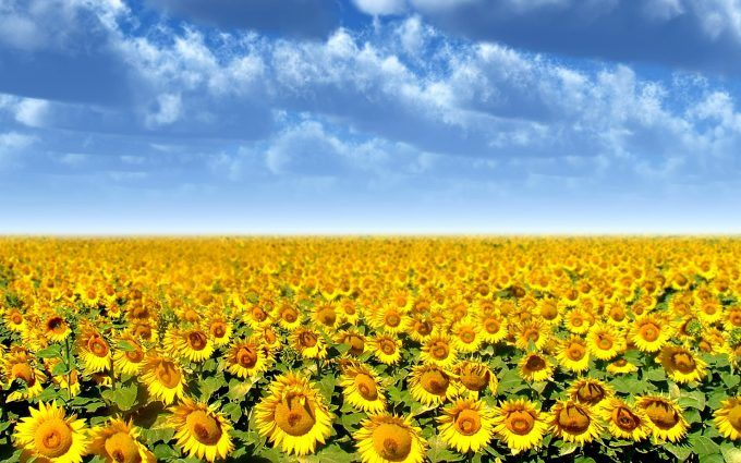 Sunflower Background Images Hd Desktop Wallpapers 4k Hd Sunflowers Background Sunflower Fields Sunflower Wallpaper Beautiful sunflower field hd wallpaper