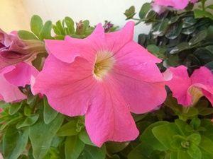 Bunga Petunia Merah Muda