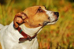 A Jack Russell Terrier for Your New Pet – The Pros & Cons