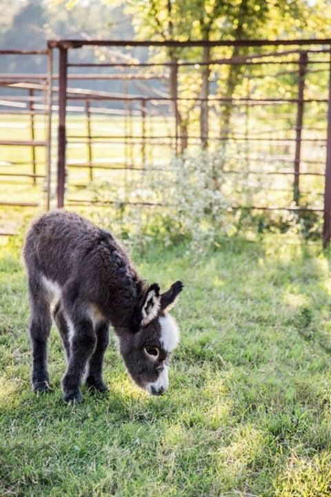 Courtesy: Satroma Ranch Miniature Donkeys, Texas (USA).
