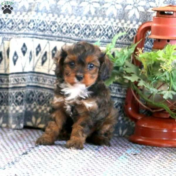 Tiffany Cavapoo Puppy For Sale In Pennsylvania Cavapoo Puppies For Sale Cavapoo Puppies Puppies For Sale