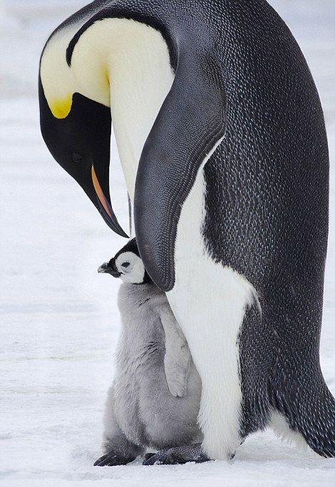 P-P-P-Peck up a penguin: An Emperor penguin gives its baby a kiss on the head...