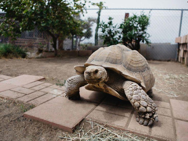 Over the last three decades, massive sulcata tortoises
