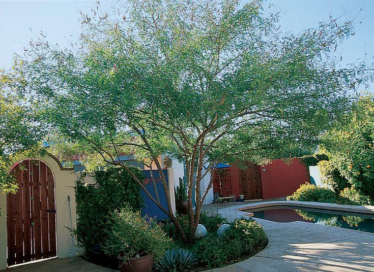 178 Best Desert Trees Images On Pinterest Desert Trees Mesquite Tree And Backyard Ideas