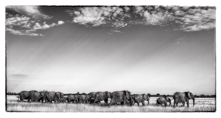 black and white print of an elephant herd on the move