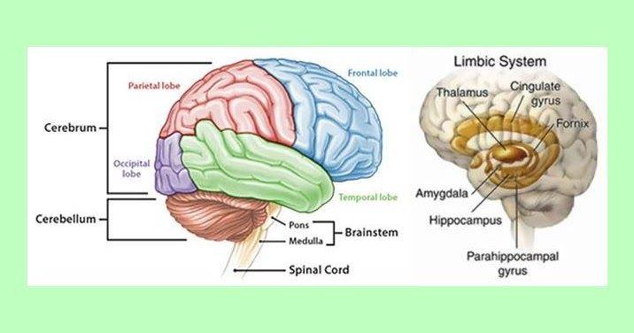 Wow 11 Gambar Otak Dan Bagiannya Perbedaan Teori Fungsi Otak Kiri Dan Otak Kanan Ini Telah Populer Sejak Tahun 1960an Dari Hasil Penel Otak Kanan Gambar Otak