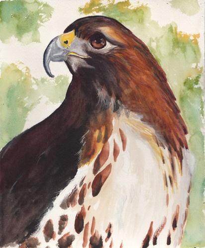 Red Tailed Hawk (8 X 10) Original Watercolor Painting | eBay