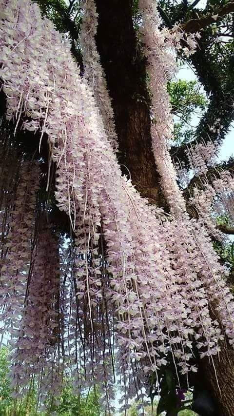 Orchid Dendrobium pierardii ~
