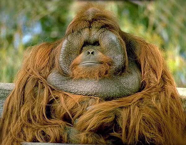 orangatang | Orang-Outan. Pongo pygmaeus . En Images. Dinosoria