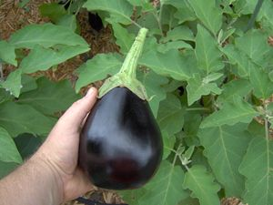If You Are New To Growing Eggplant, There Are Some Misconceptions On When  To Pick These Tasty Black (or Purple) Vegetables. When Visiting Your Local  Superm