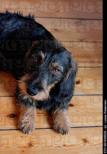A cute wire haired dachshund puppy on the floor