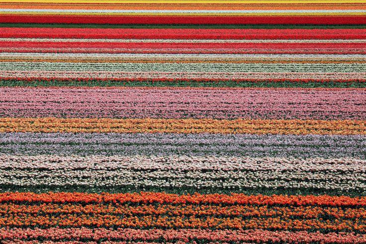 As 15 paisagens mais coloridas do mundo - Campos de Tulipa, Lisse, Holanda.