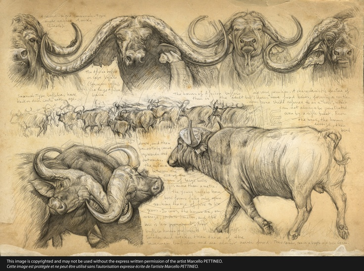 194 HH Big five Cap buffalo © marcello
