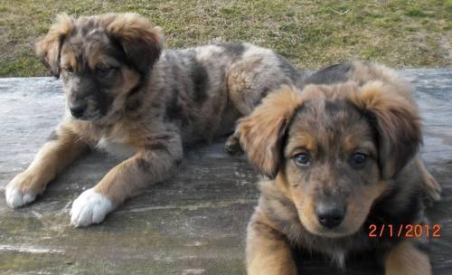 Aussie lab mix pups !!