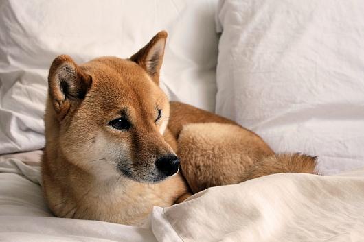 15 best Shiba Inu images on Pinterest   Shiba inu, Baby