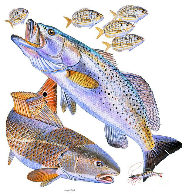 Redfish trout poster by carey chen trout and tattoo for Red saltwater fish