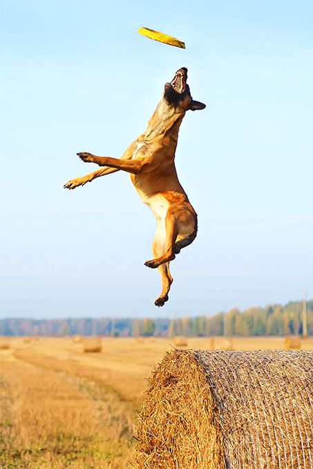 Belgian Malinois  Canines of the Belgian Malinois dog breed were originally bred to be herding dogs. Today, they also work as police dogs, protection dogs, and family companions. In the hands of an experienced dog person, they are intense, intelligent and athletic companions.