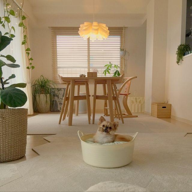 haruhinaさんの、部屋全体,観葉植物,無印良品,照明,ペット,ダイニング,犬,ダイニングテーブル,マンション,北欧インテリア,マンションインテリア,タイルカーペット,マルニ木工,ジュエリーライト,ペットと暮らすインテリア,いつもいる場所,のお部屋写真
