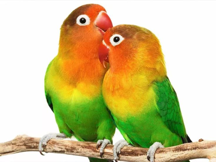 Inseparables Binatang Gambar Burung Binatang Lucu