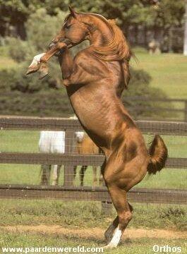 Deze indrukwekkende stijgerende arabier toont wat hij in zijn mars heeft. Dit is een zeer temperamentvol paardenras. De prijs van het mooiste paard ter wereld is ook toegekend aan een arabier.
