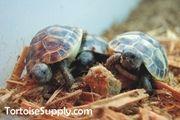 Baby Hermanns Tortoise