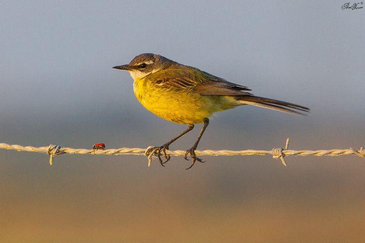 Alvéola-amarela, Western yellow wagtail (Motacilla flava) - em Liberdade  [WildLife]
