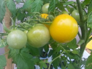 I added my trustyJR Peters - Jack's Classic 10-30-20 Blossom Boosterand the next day my green tomatoes had turned to a perfect yellow. They areGolden Dwarf Champion yellow tomatoes.The 1899 W. Atlee Burpee Seed Annual described that the original seed was sent to them by a customer in