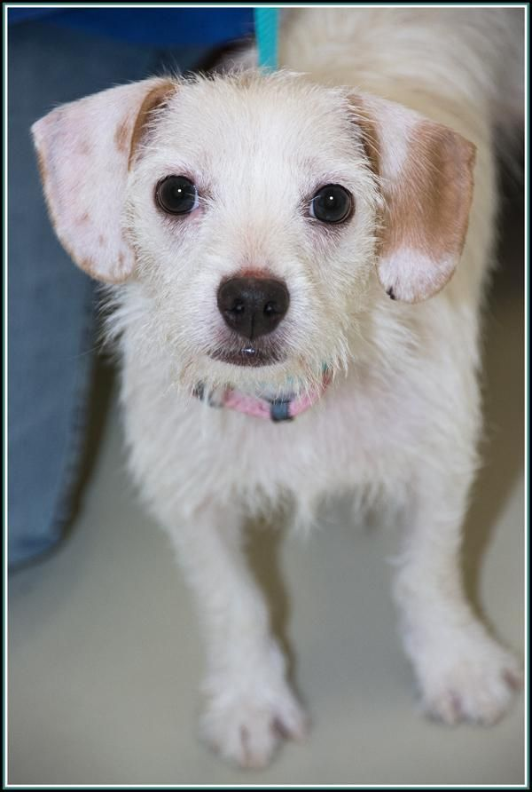 ICE* is an adoptable Jack Russell Terrier (Parson Russell Terrier) searching for a forever family near Frederick, MD. Use Petfinder to find adoptable pets in your area.