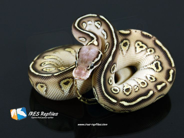 I believe this is a Pastel Super Mystic ball python! I wish I had this snake! The crisp markings with that air-brush look of the black around them really is stunning!
