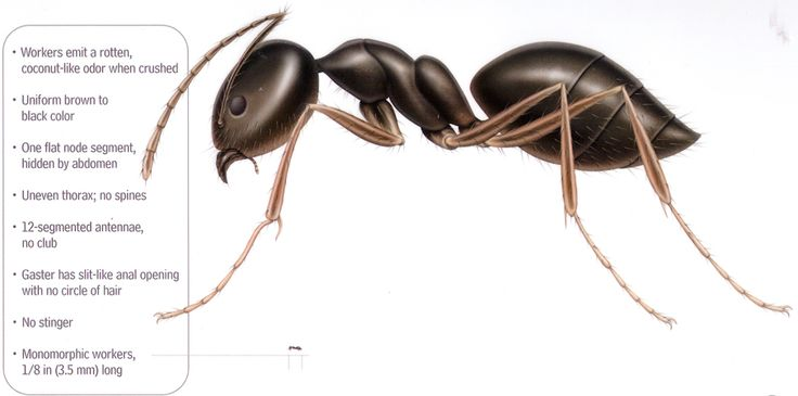 Methods for treating against sugar ants/odorous house ants.  #sugarants  #odoroushouseants  Also helpful guidance found at   http://www.diypestcontrolproduct.com/howtogetrido3.html