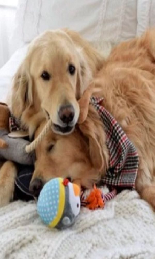 Blind Golden Retriever Is Happier Than Ever Thanks To His Best Pup