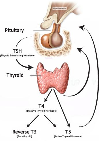 25+ best ideas about thyroid gland on pinterest | symptoms of, Human Body