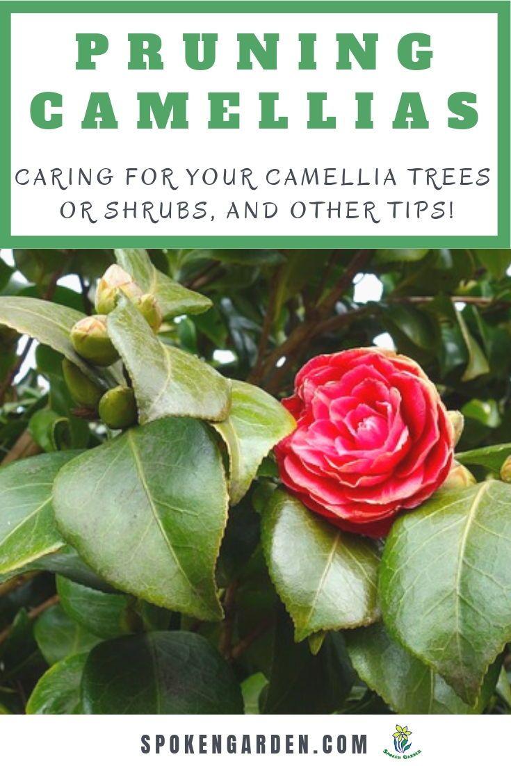 Camellia Pruning And Other Beneficial Care Tips Diy Garden Minute Ep 49 Spoken Garden Camellia Tree Garden Care Pruning Plants