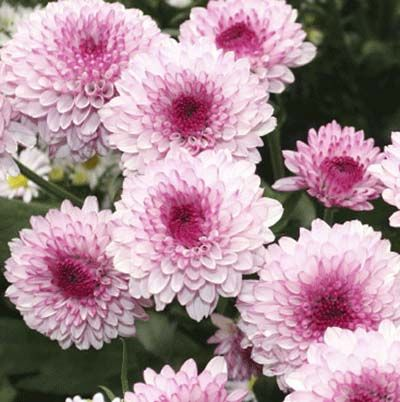 Photo: Darren Swim | thisoldhouse.com | from 15 Fast-Growing Flowers for a Cutting Garden