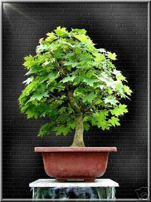 79 best bonsai images on pinterest bonsai bonsai trees - Arce rubrum bonsai ...