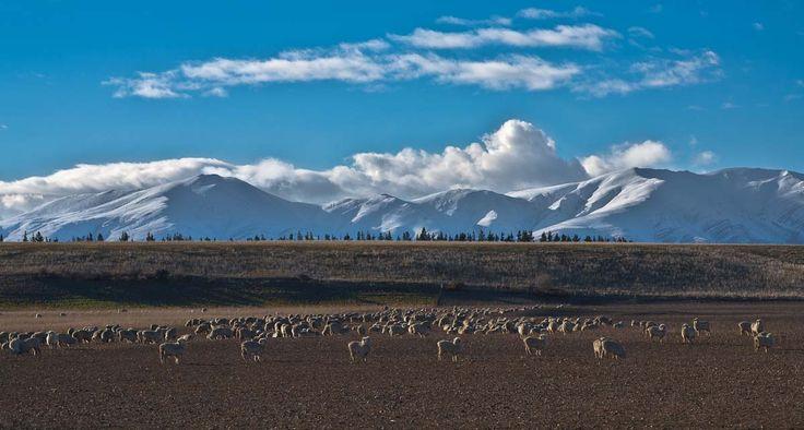 Sheep eating winter feed on the Maniototo plain, New Zealand