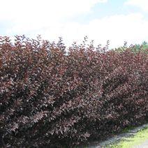 Physocarpus opulifolius 'Diabolo' PBR 2