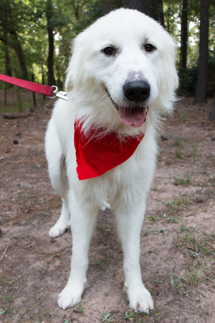 Best 25 Great Pyrenees Ideas On Pinterest Great