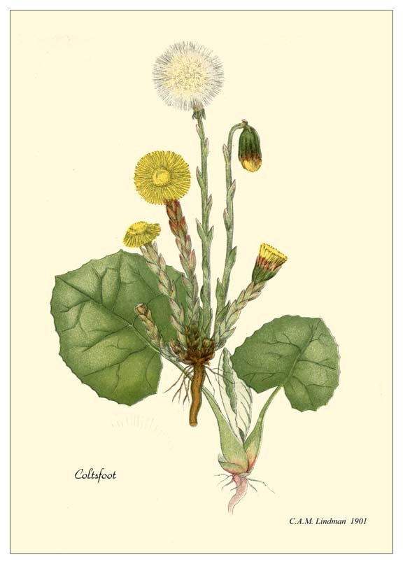 Tussilago farfara (Coltsfoot)  HUFLATTICH -was gathered to make teas [ the flowerpods ] - was a cough remedy