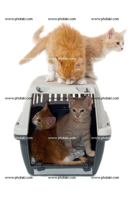 http://www.photaki.com/picture-sweet-cat-kittens-in-transport-box_1306115.htm