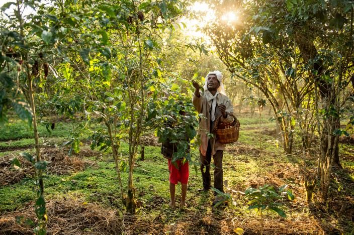 Picture of laborers picking coffee cherries in Choche, Ethiopia