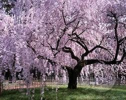 I love weeping cherry trees and weeping willows. Beautiful