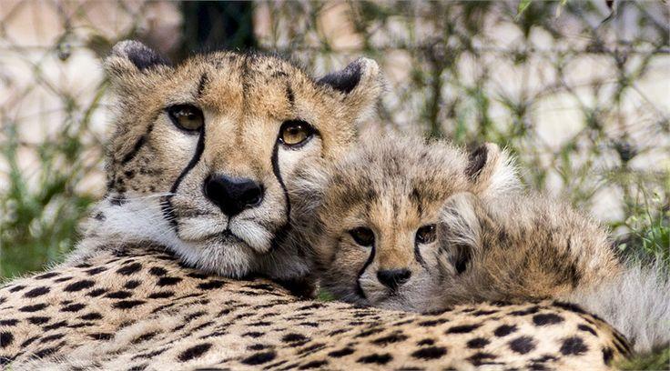 Mamma e cucciolo di leopardo fotografati allo zoo di basilea
